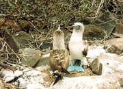 Blaufußtölpel auf Galapagos