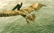 Ein Pelikan begleitet uns
