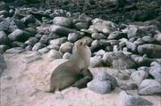 Seelöwe mit Kind auf Galapagos