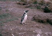 Pinguin bei Punta Arenas