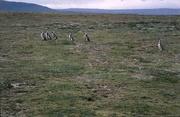 Pinguine bei Punta Arenas