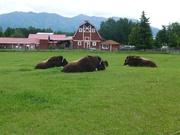 Moschusochsenfarm