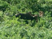 auch Elche gibt es im Denali NP