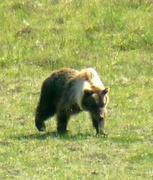 Bären natürlich auch