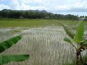 Reisanbau auf Bohol