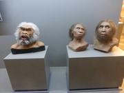 Schädel, 1,5 Mio. Jahre alt