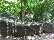 Affen vor dem Felsentempel