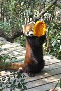 rotes Pandakind