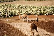 Kamelgespann vor dem Pflug