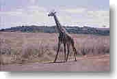 Giraffe im Nairobi-Nationalpark
