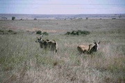 Kudus im Nairobi-Nationalpark
