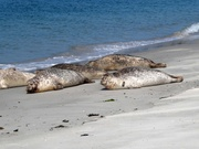 Robben oder Seehunde?