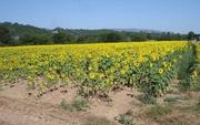 Sonnenblumenfeld bei Sisteron