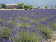 Lavendelfeld bei La Palud