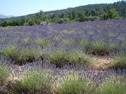 Lavendelfelder im Dreieck Riez, Puimoisson, Valensole