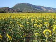 Sonnenblumen in der Provence
