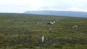 Rentiere am Nordkap