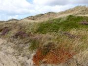 Dünenlandschaft mit Heide