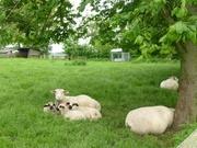 glückliche Schafe