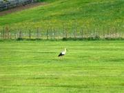 einsamer Storch