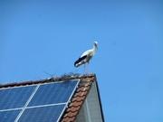 Storch in Dellmensingen