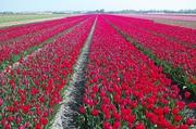 Tulpenfelder bei Lisse 1
