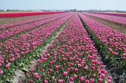 Tulpenfelder bei Lisse 2