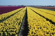 Tulpenfelder bei Lisse 3