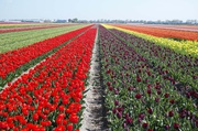 Tulpenfelder bei Lisse 4