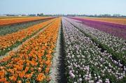 Tulpenfelder bei Lisse 5