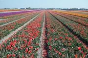 Tulpenfelder bei Lisse 6