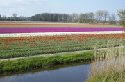 Tulpenfelder bei Lisse 7