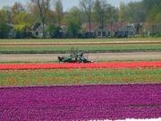 Tulpenfelder bei Lisse 10