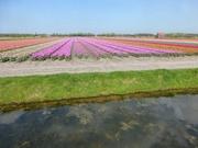 Tulpenfelder bei Lisse 8