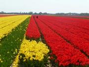 Tulpenfelder bei Lisse 9