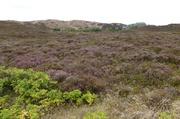 Heide auf Dünen