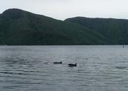 Delphine im Marlborough Sound